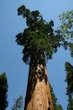 γιγαντιαίο sequoia δέντρο στοκ φωτογραφία