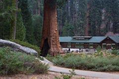 Γιγαντιαίο sequoia κοντά στο δασικό μουσείο Στοκ Εικόνα