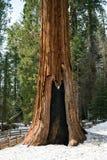 Γιγαντιαίο Sequoia στο δάσος Στοκ Εικόνες
