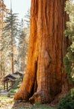 Γιγαντιαίο sequoia στο δασικό άλσος Καλιφόρνιας Στοκ φωτογραφία με δικαίωμα ελεύθερης χρήσης