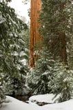 γιγαντιαίο sequoia Στοκ εικόνες με δικαίωμα ελεύθερης χρήσης