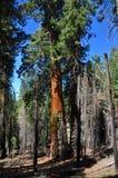 γιγαντιαίο sequoia Στοκ Εικόνες