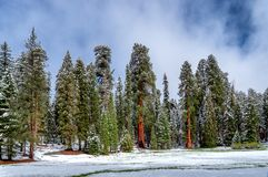 Γιγαντιαίο Sequoia giganteum Sequoiadendron δέντρων, Sequoia στο εθνικό πάρκο κατά τη διάρκεια του χειμώνα, ΗΠΑ στοκ εικόνες