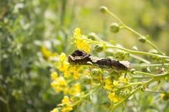 Γιγαντιαίο Swallowtail Caterpillar Στοκ Φωτογραφίες