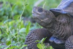 Γιγαντιαίο Tortoise Santa Cruz Galapagos στα νησιά Ισημερινός 12 Στοκ φωτογραφία με δικαίωμα ελεύθερης χρήσης