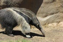 Γιγαντιαίο tridactyla Myrmecophaga anteater Στοκ φωτογραφία με δικαίωμα ελεύθερης χρήσης