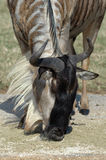 γιορτή η πιό wildebeesη Στοκ εικόνες με δικαίωμα ελεύθερης χρήσης