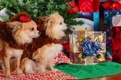 Γιορτή Χριστουγέννων σκυλακιών στοκ εικόνες