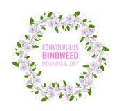 Γιρλάντα με τα ρόδινα και άσπρα bindweed λουλούδια Γαμήλιο στοιχείο για την πρωί-δόξα στεφανιών σχεδίου convolvulus σχέδιο ανθών ελεύθερη απεικόνιση δικαιώματος