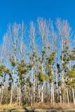 Γκι στα δέντρα λευκών στο χειμερινό δάσος Στοκ εικόνα με δικαίωμα ελεύθερης χρήσης