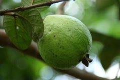γκοϋάβα στοκ φωτογραφία με δικαίωμα ελεύθερης χρήσης
