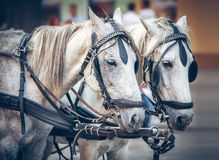 Γκρίζα άλογα που τραβούν μια χρησιμοποιημένη ομάδα αλόγων Στοκ Φωτογραφίες