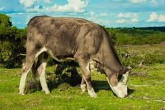 Γκρίζα αγελάδα Στοκ Εικόνα
