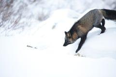Γκρίζα αλεπού 2 Στοκ φωτογραφία με δικαίωμα ελεύθερης χρήσης