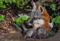 Γκρίζα αλεπού (cinereoargenteus Urocyon) και εξάρτηση που βρίσκεται στο κρησφύγετο Στοκ Εικόνα