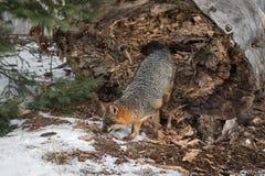 Γκρίζα βήματα cinereoargenteus Urocyon αλεπούδων από το τέλος κούτσουρων στοκ φωτογραφίες