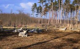 Γκρίζα βοοειδή Στοκ Φωτογραφίες