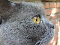 Γκρίζα βρετανική γάτα shorthair με τα κίτρινα μάτια Στοκ Εικόνες