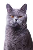 Γκρίζα βρετανική γάτα shorthair με τα φωτεινά κίτρινα μάτια Στοκ εικόνες με δικαίωμα ελεύθερης χρήσης
