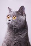 Γκρίζα βρετανική γάτα shorthair με τα φωτεινά κίτρινα μάτια Στοκ Φωτογραφία