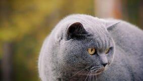 Γκρίζα βρετανική τοποθέτηση γατών στο δάσος απόθεμα βίντεο