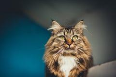 Γκρίζα γάτα γατακιών με το γδυμένο στήθος γουνών στοκ φωτογραφία με δικαίωμα ελεύθερης χρήσης