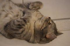 Γκρίζα γάτα γατακιών shorthair βρετανική στοκ φωτογραφία