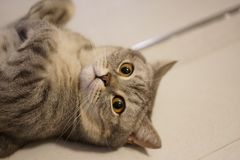 Γκρίζα γάτα γατακιών shorthair βρετανική στοκ εικόνα