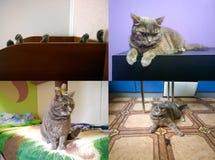 Γκρίζα γάτα εσωτερική Στοκ Εικόνες