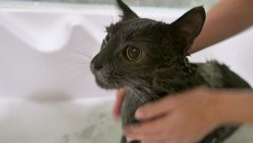 Γκρίζα γάτα λουσίματος στο λουτρό απόθεμα βίντεο