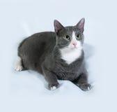 Γκρίζα γάτα με τα άσπρα σημεία που βρίσκονται σε γκρίζο Στοκ Εικόνα