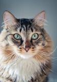 Γκρίζα γάτα με τα μακριά μουστάκια στοκ φωτογραφία