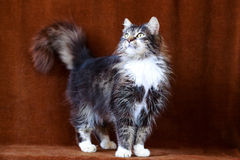 Γκρίζα γάτα με τα μεγάλα μάτια Στοκ εικόνα με δικαίωμα ελεύθερης χρήσης