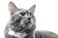 Γκρίζα γάτα με τα όμορφα μπλε μάτια ένα άσπρο υπόβαθρο που απομονώνεται Στοκ εικόνα με δικαίωμα ελεύθερης χρήσης