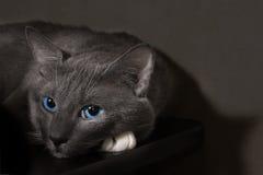Γκρίζα γάτα με τα όμορφα μπλε μάτια Στοκ Εικόνες