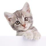 Γκρίζα γάτα με το λευκό πίνακα Στοκ Φωτογραφίες