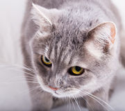 Γκρίζα γάτα με το κεκλιμένο κεφάλι και ένα βλέμμα από κάτω από επάνω Στοκ εικόνα με δικαίωμα ελεύθερης χρήσης
