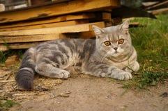 Γκρίζα γάτα με το πορτοκαλί μάτι στοκ φωτογραφία με δικαίωμα ελεύθερης χρήσης