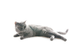 Γκρίζα γάτα παιχνιδιού. Στοκ Φωτογραφίες