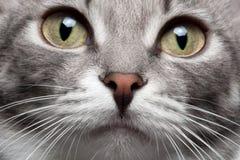 Γκρίζα γάτα πορτρέτου κινηματογραφήσεων σε πρώτο πλάνο με την κόκκινη μύτη στοκ εικόνες