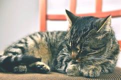 Γκρίζα γάτα που βρίσκεται στην καρέκλα Στοκ Φωτογραφίες