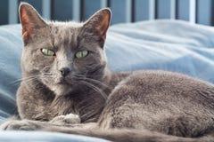 Γκρίζα γάτα που κοιτάζει επίμονα σε με Στοκ Εικόνες