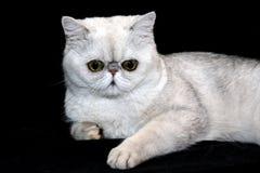 Γκρίζα γάτα σε ένα μαύρο υπόβαθρο στοκ εικόνες με δικαίωμα ελεύθερης χρήσης