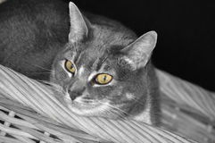 Γκρίζα γάτα στο καλάθι Στοκ φωτογραφία με δικαίωμα ελεύθερης χρήσης