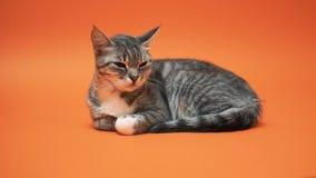 Γκρίζα γάτα στο πορτοκαλί υπόβαθρο απόθεμα βίντεο