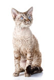 Γκρίζα γάτα του Ντέβον rex με τα μεγάλα αυτιά στο άσπρο υπόβαθρο στοκ φωτογραφία με δικαίωμα ελεύθερης χρήσης