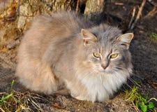 Γκρίζα γάτα υπαίθρια στοκ εικόνα με δικαίωμα ελεύθερης χρήσης