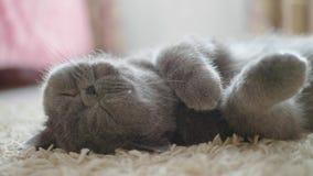 Γκρίζα γάτα ύπνου στο πάτωμα γατών απόθεμα βίντεο