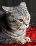 Γκρίζα γάτα Στοκ φωτογραφίες με δικαίωμα ελεύθερης χρήσης