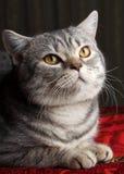 Γκρίζα γάτα Στοκ εικόνα με δικαίωμα ελεύθερης χρήσης